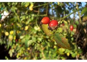 Шипка плод