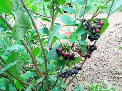 Арония плод