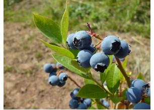 Черна боровинка плод